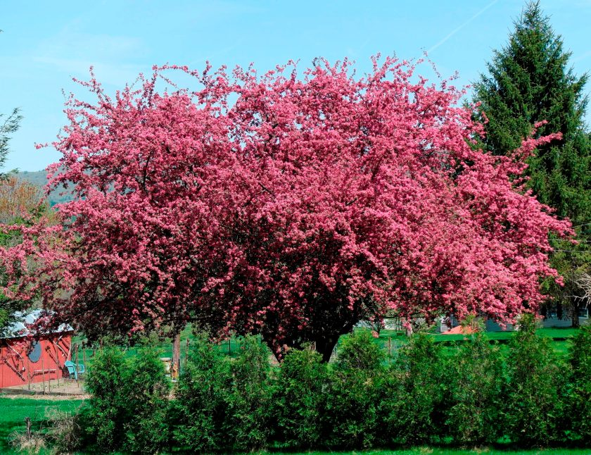 Blooming Crab Apple Tree, Montague, MA Photo: Jerri Higgins