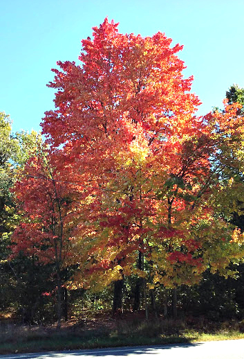 Montague MA tree Oct 2016